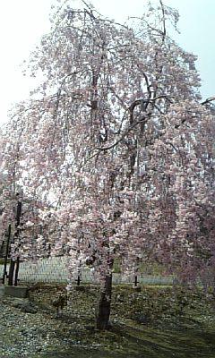 岩手の桜2